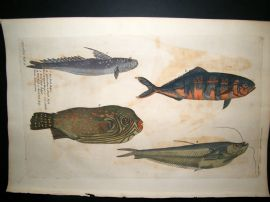 Willughby & Ray 1740 Folio Hand Col Fish Print. Pit, Pilot and Witt Fish